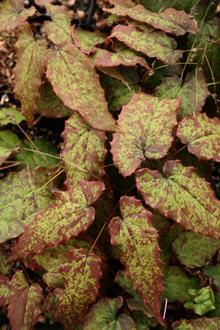 Epimedium acuminatum 'Guiding Light'