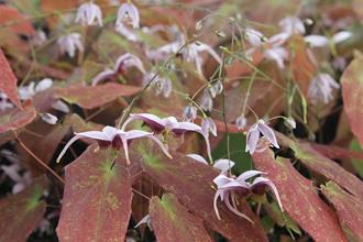 Epimedium acuminatum 'Ruby Shan'
