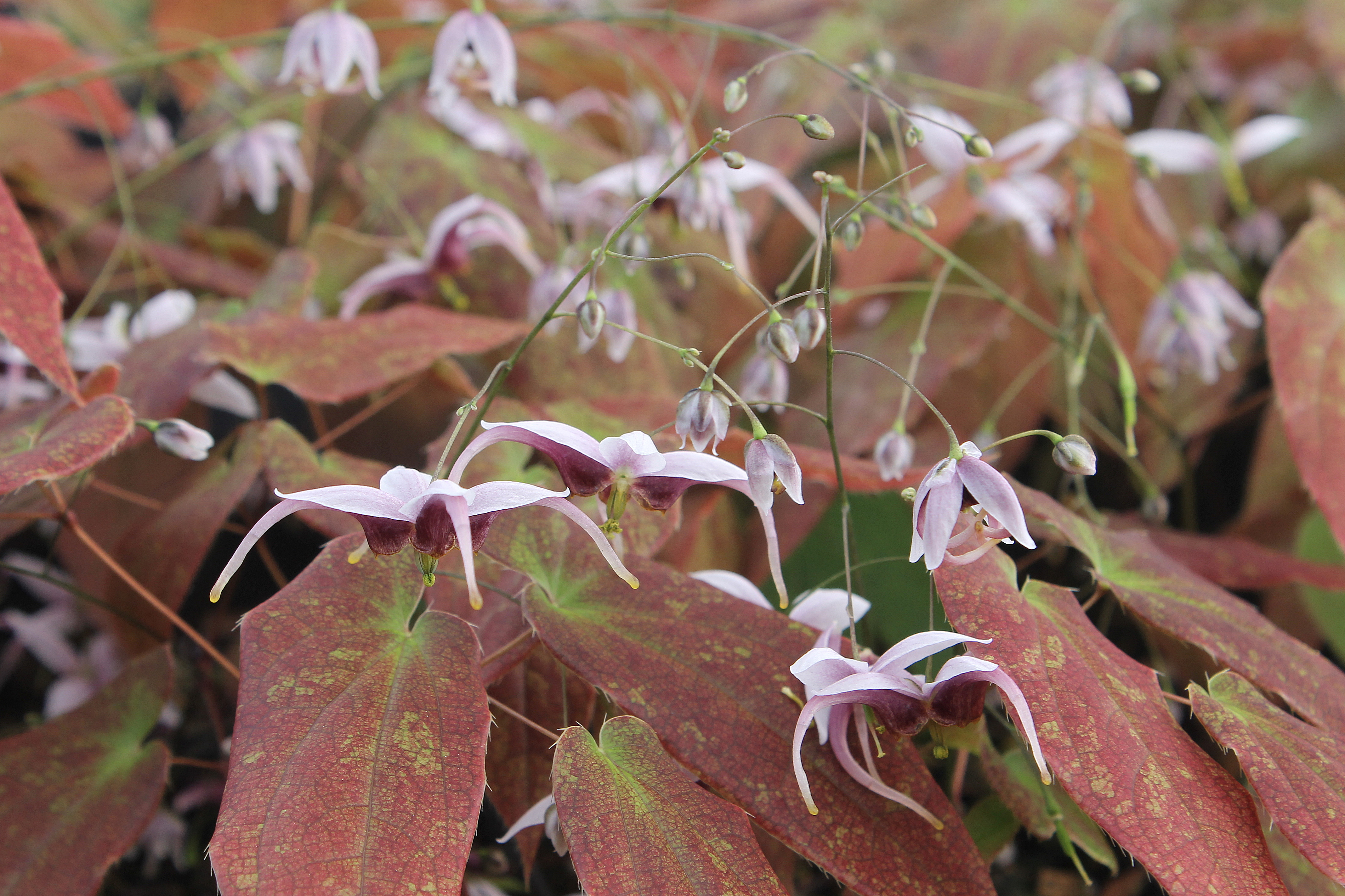 Epimedium acuminatum 'Ruby Shan' @ JLBG - a 1996 Dan Hinkley/Heronswood Nursery introduction of a collection from Sichuan, China; evergreen