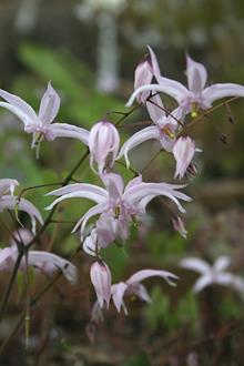 Epimedium brachyrrhizum 'Elfin Magic'