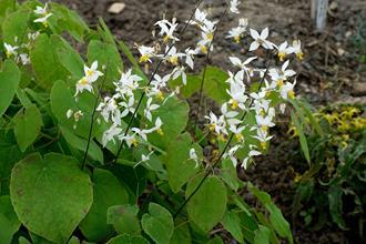 Epimedium brevicornu