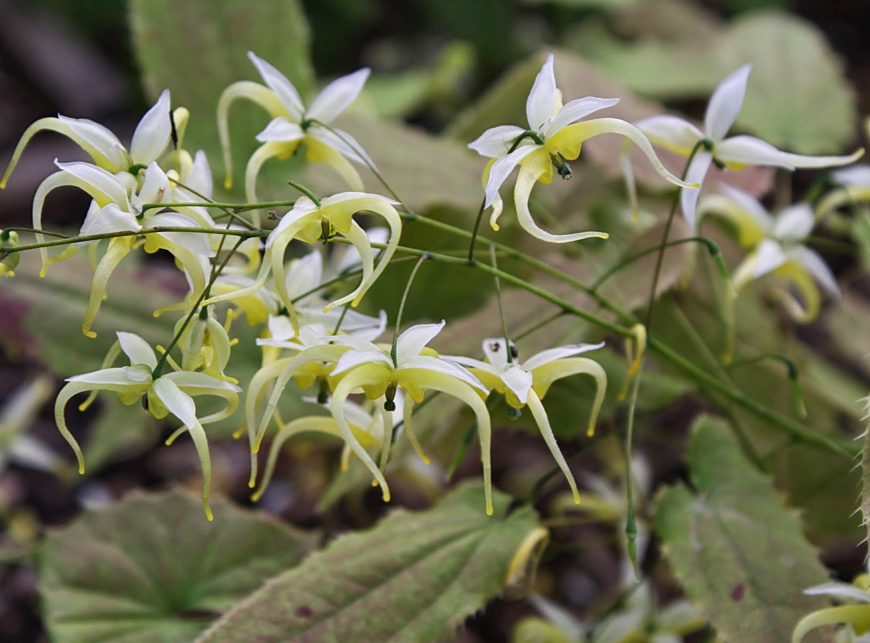 Epimedium chlorandrum 'Sichuan Spider' @ JLBG is a Dan Hinkley collection, DJHC705 of a Sichuan collection of the newly named. PDN added the cultivar name to this clone in 2015; evergreen