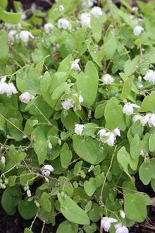 Epimedium diphyllum 'Nanum'