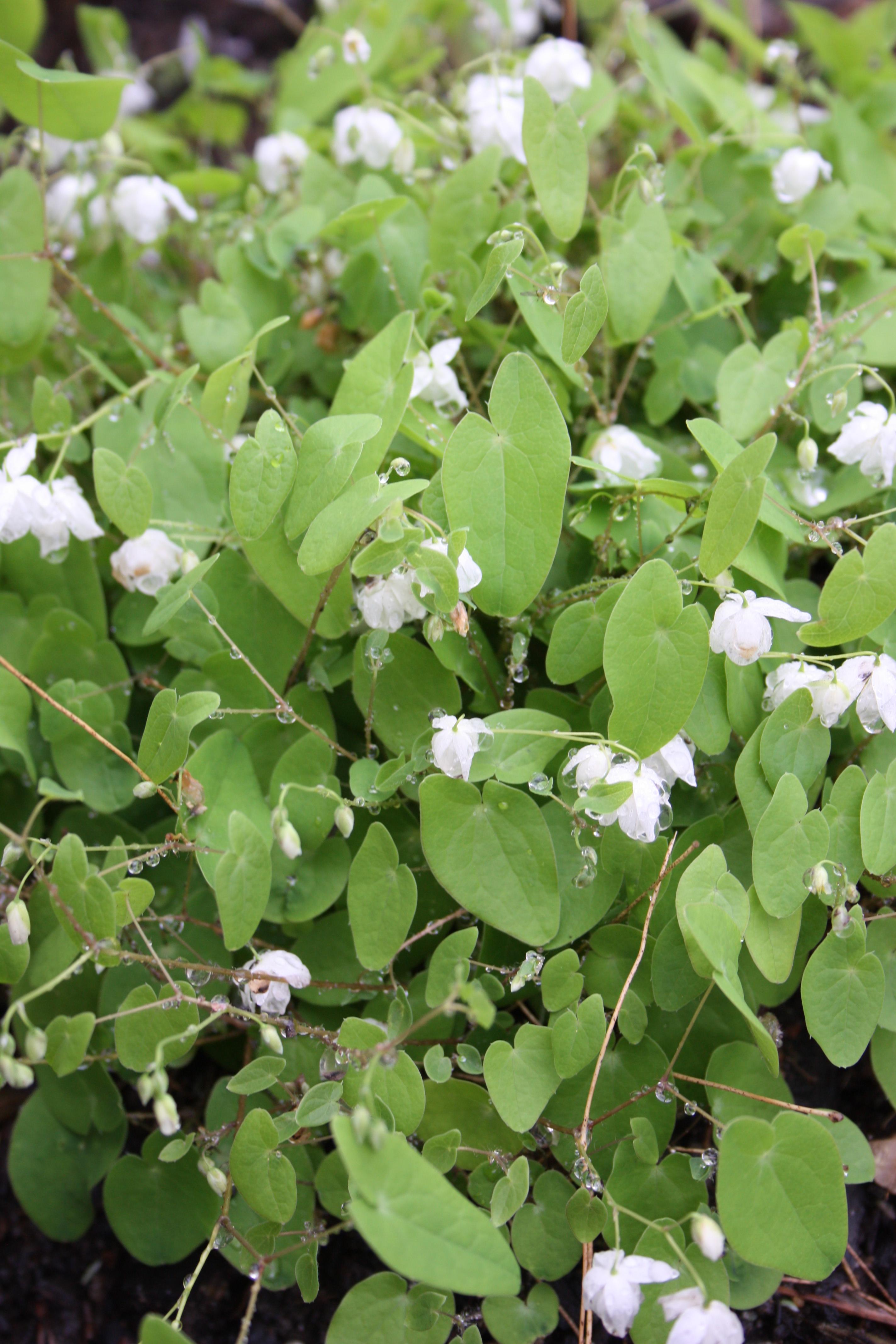 Epimedium diphyllum 'Nanum' @ JLBG