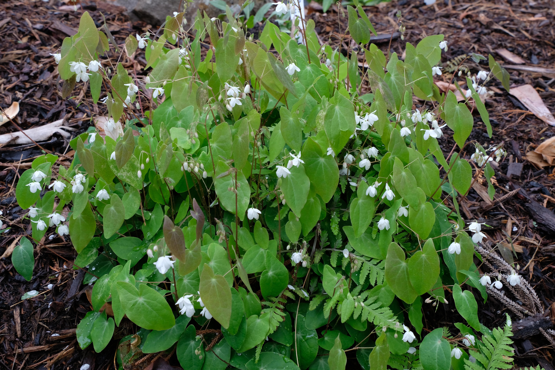 Epimedium diphyllum 'Shiro Tiri Fu' (aka 'Variegatum' @ JLBG