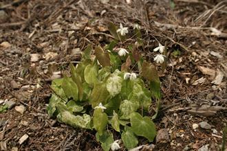Epimedium diphyllum 'Shiro Tiri Fu'