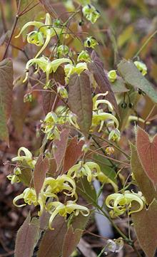 Epimedium franchetii 'Lemon Drop'