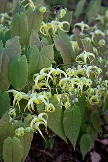 Epimedium franchetii 'Suntan'