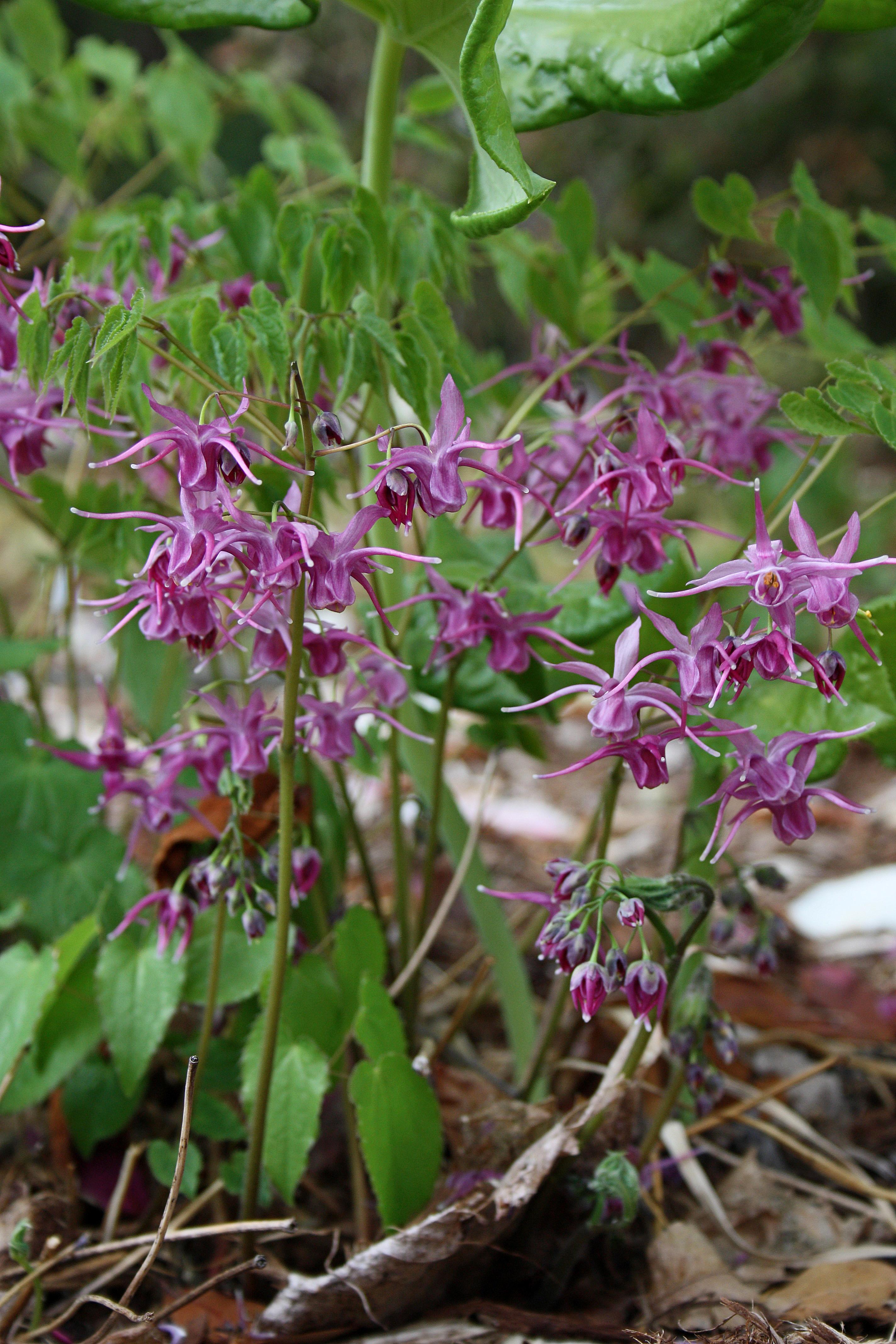 Epimedium grandiflorum 'Nigrum' @ JLBG; deciduous