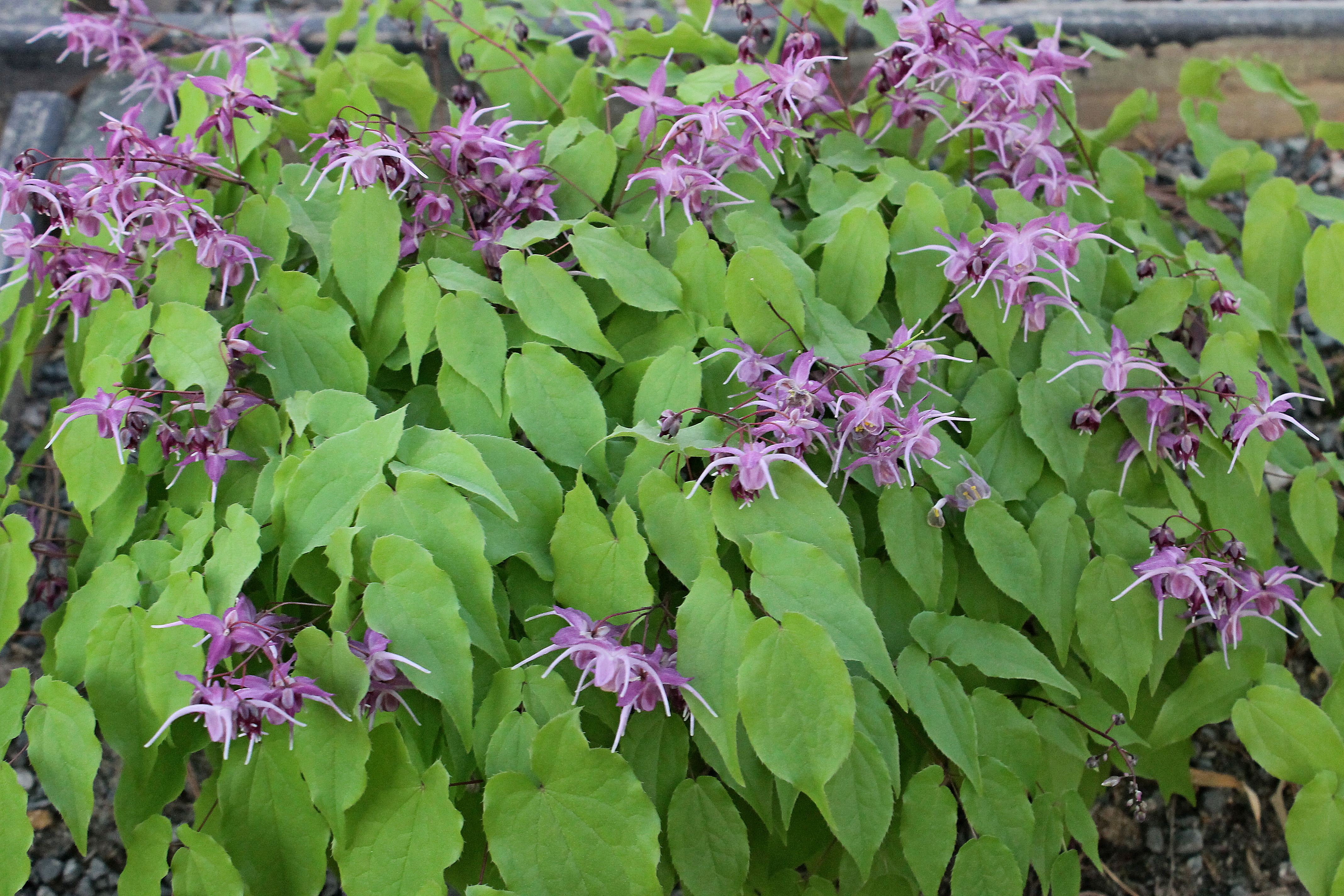 Epimedium grandiflorum 'Benedict's Violet' @ JLBG; a selection from the late Michigan plantsman, Dr. Herb Benedict; deciduous