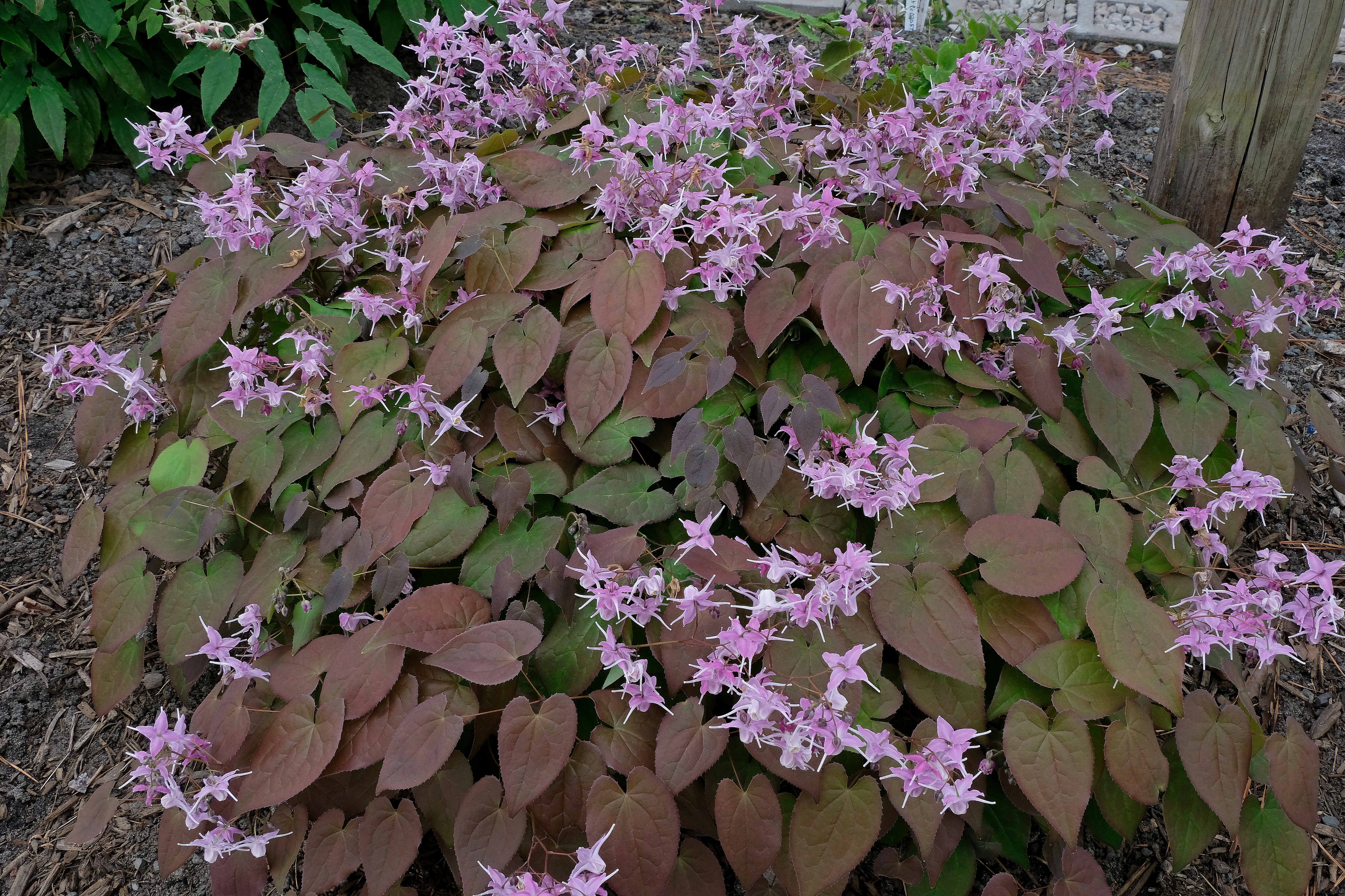 Epimedium grandiflorum 'Bronze Maiden' @ JLBG;  a 1999 Cobblewood introduction; deciduous