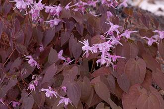 Epimedium grandiflorum 'Bronze Maiden'