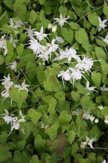Epimedium grandiflorum var. higoense 'Confetti'