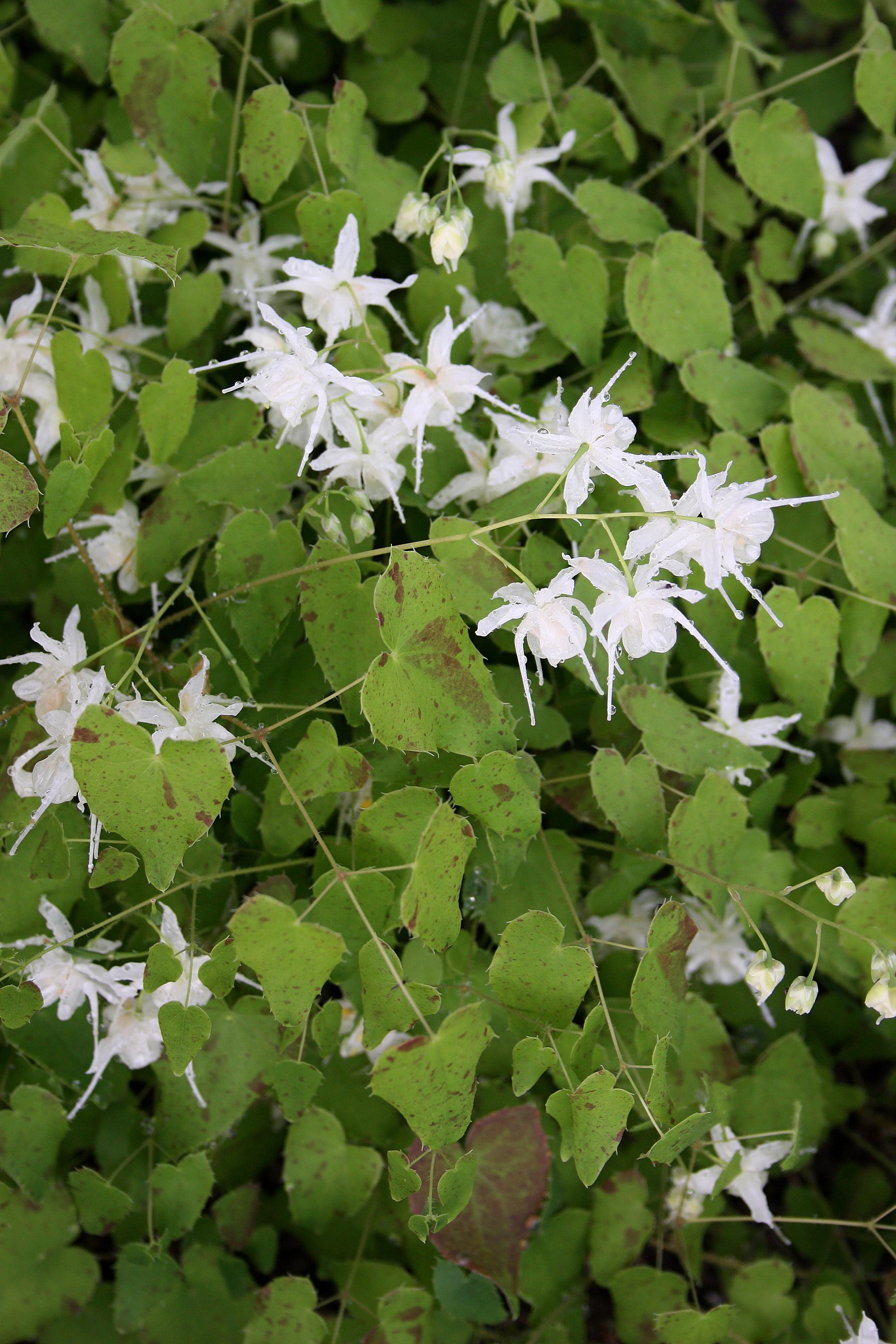 Epimedium grandiflorum var. higoense 'Confetti' @ JLBG; a 2007 Cobblewood introduction; deciduous