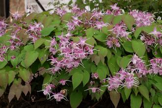 Epimedium grandiflorum 'Dark Beauty'