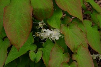 Epimedium grandiflorum 'French Braid'