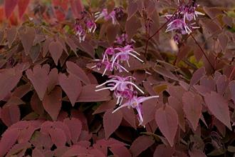 Epimedium grandiflorum 'Queen Esta'