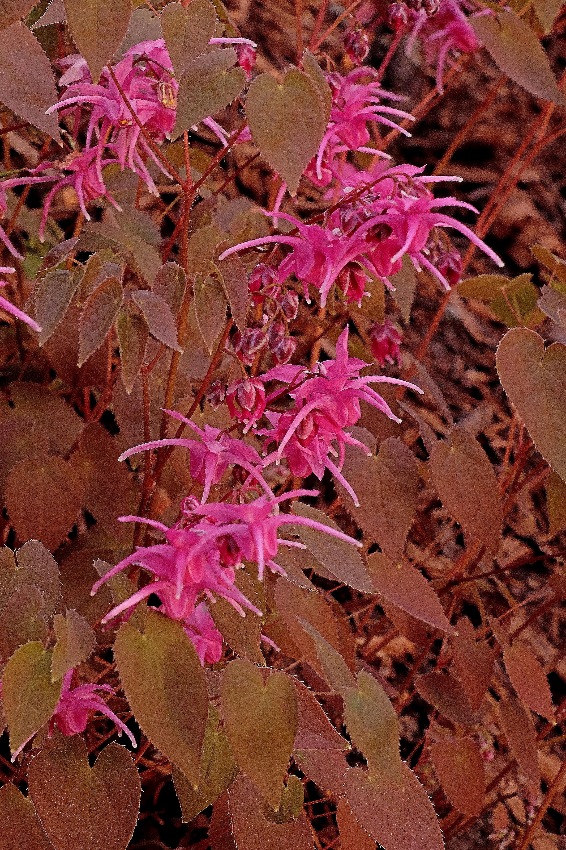 Epimedium grandiflorum 'Yubae' @ JLBG - (syn: 'Rose Queen', 'Crimson Beauty'); deciduous
