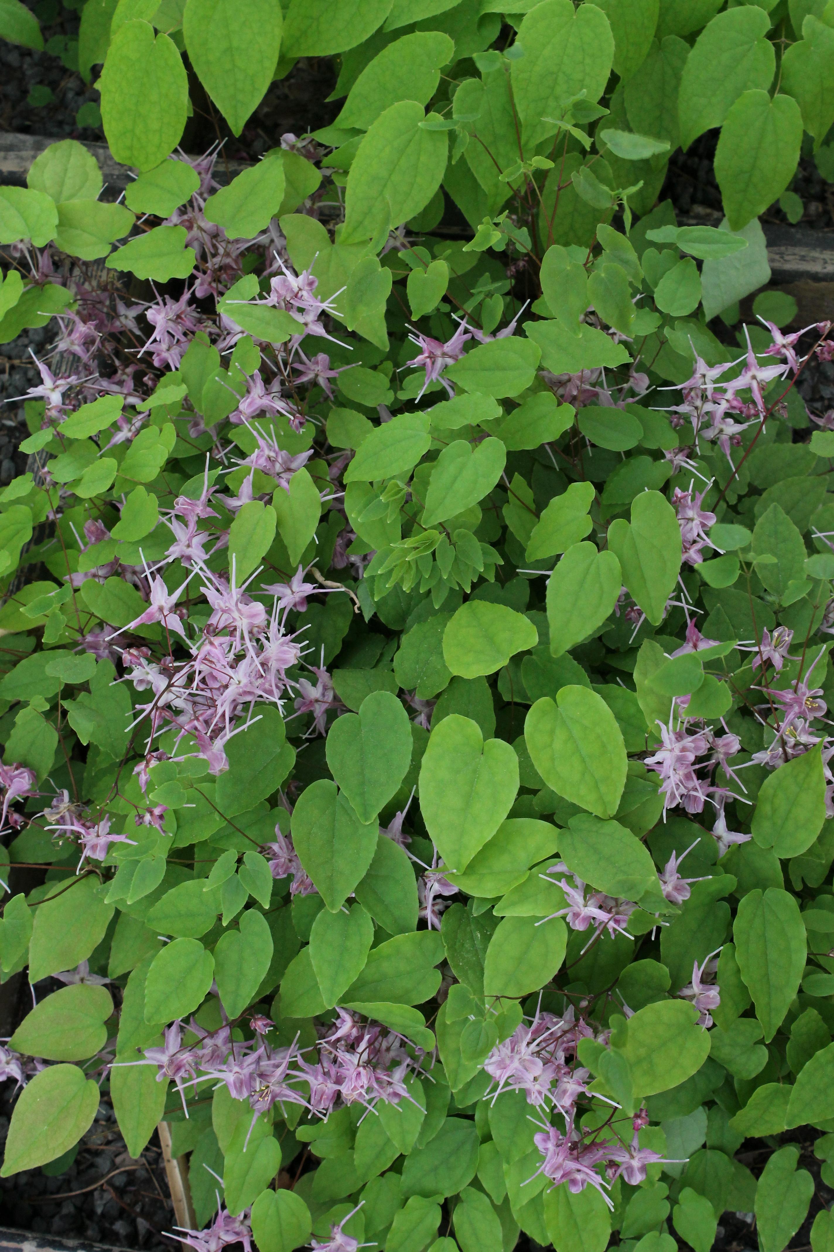 Epimedium grandiflorum 'Saxton's Purple' @ JLBG; deciduous