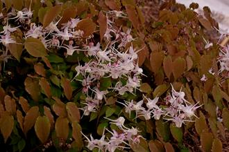 Epimedium grandiflorum 'Silver Queen'