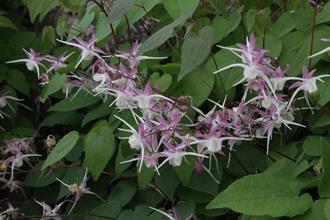 Epimedium grandiflorum 'Tama no Genpei'
