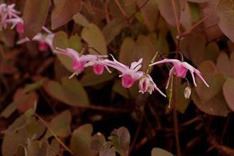 Epimedium grandiflorum 'Tanche'