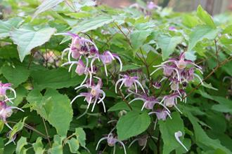 Epimedium grandiflorum 'Waterfall'