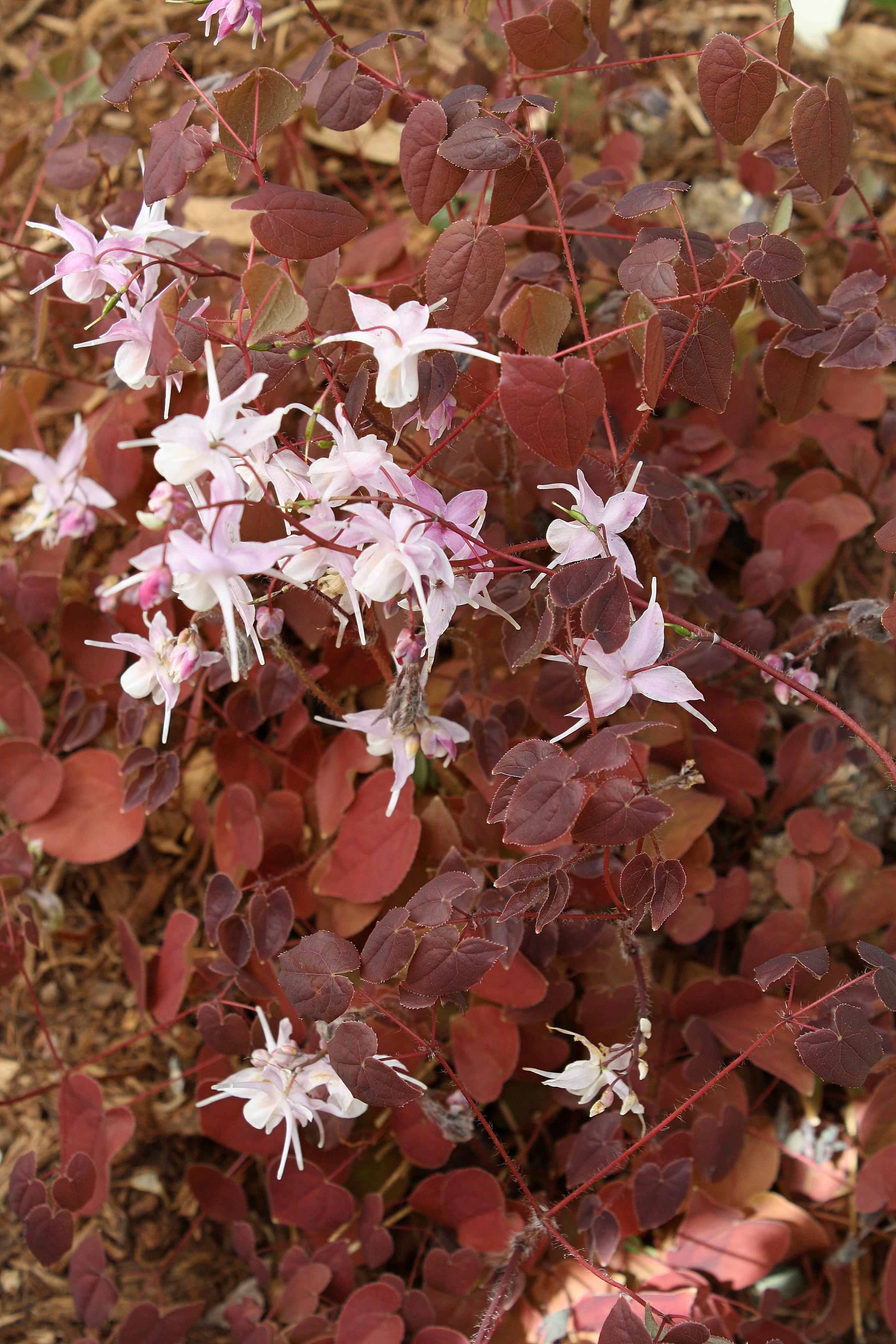 Epimedium grandiflorum 'Violaceum' @ JLBG; deciduous