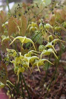 Epimedium lishihchenii 'Golden Earrings'