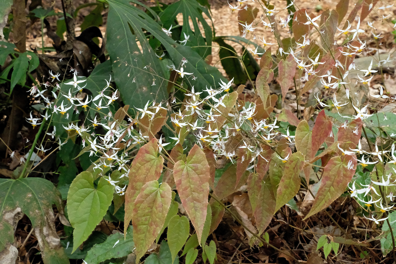 Epimedium pubescens 'Clean Hans' @ JLBG