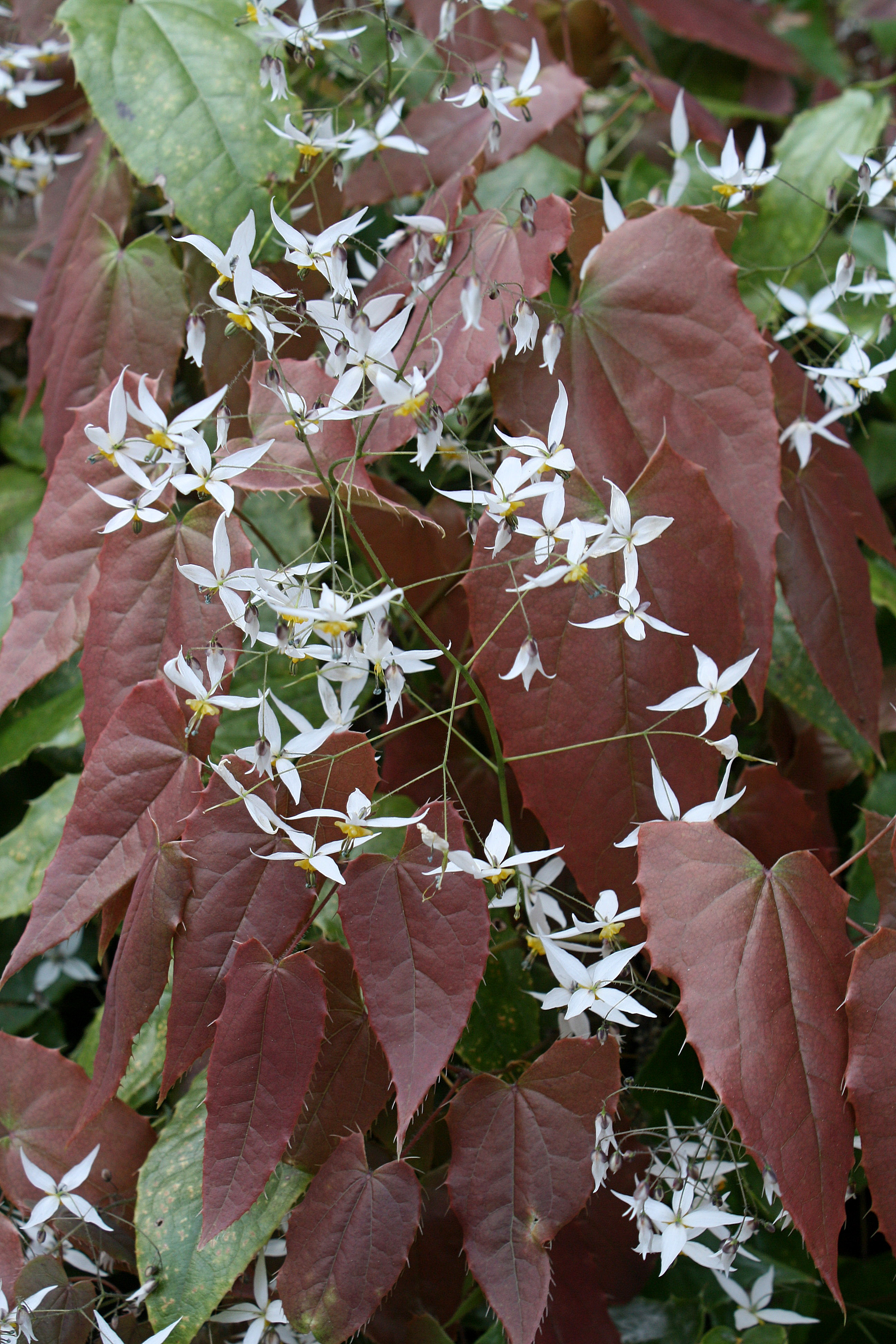 Epimedium pubescens 'Shanxii Snow' @ JLBG - introduced as a seed strain, Epimedium Shanxii forms by Cobblewood - this selected clone was named Epimedium 'Shanxii Snow' by JLBG/PDN