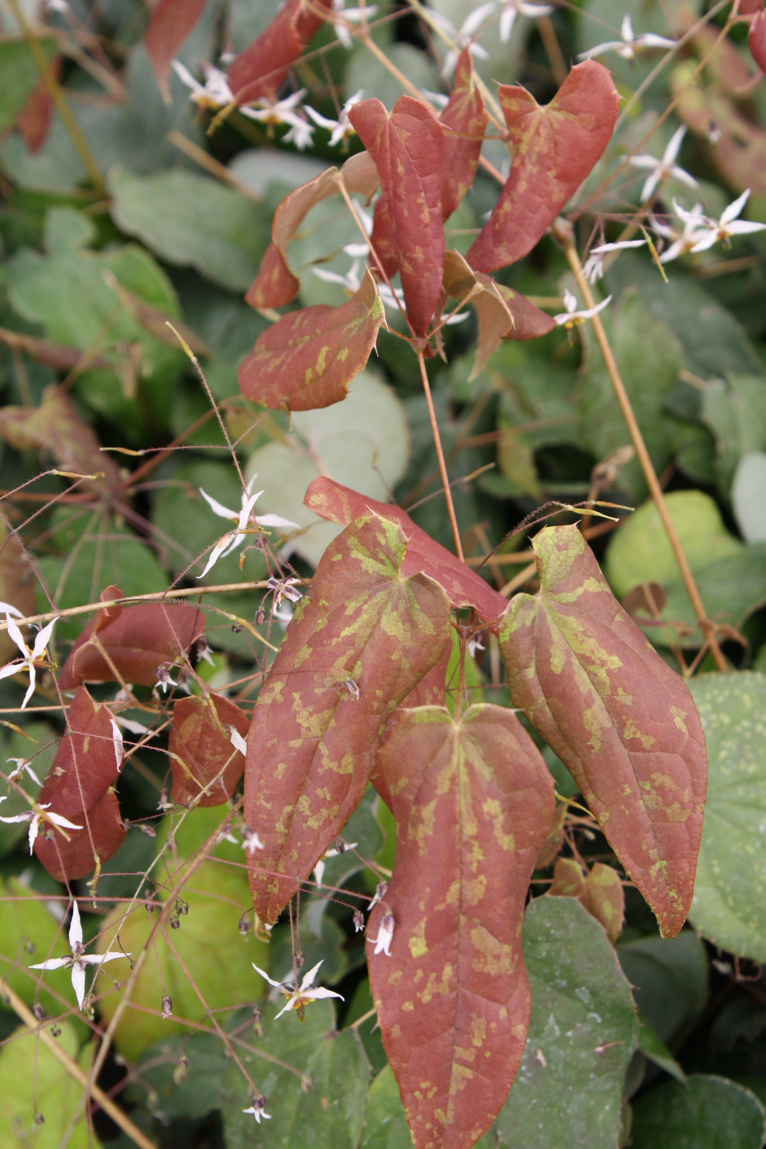 Epimedium pubescens 'Snowflakes' @ JLBG - a2013 JLBG/PDN introduction from Chinese imported plants