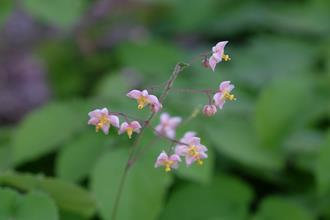 Epimedium pubigerum PDN002
