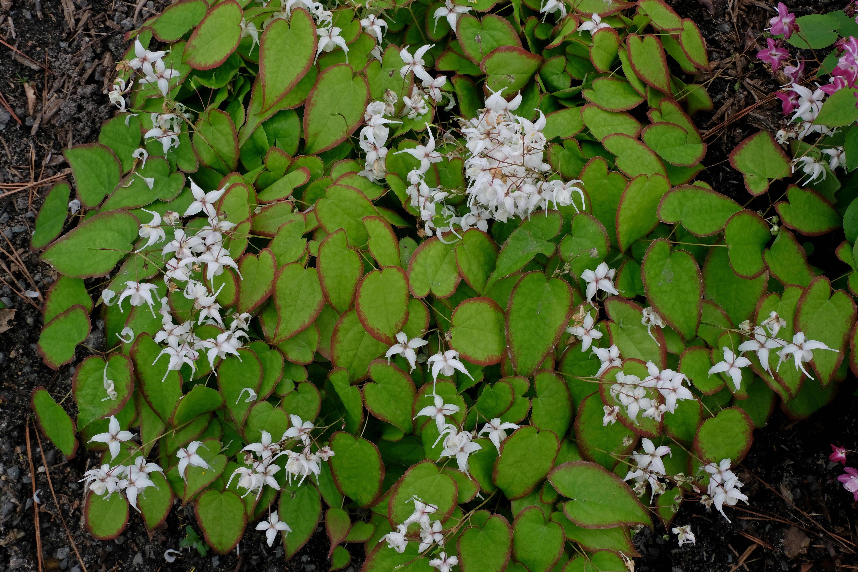 Epimedium sempervirens 'Candy Hearts' @ JLBG - a 2001 Cobblewood introduction; semi-evergreen