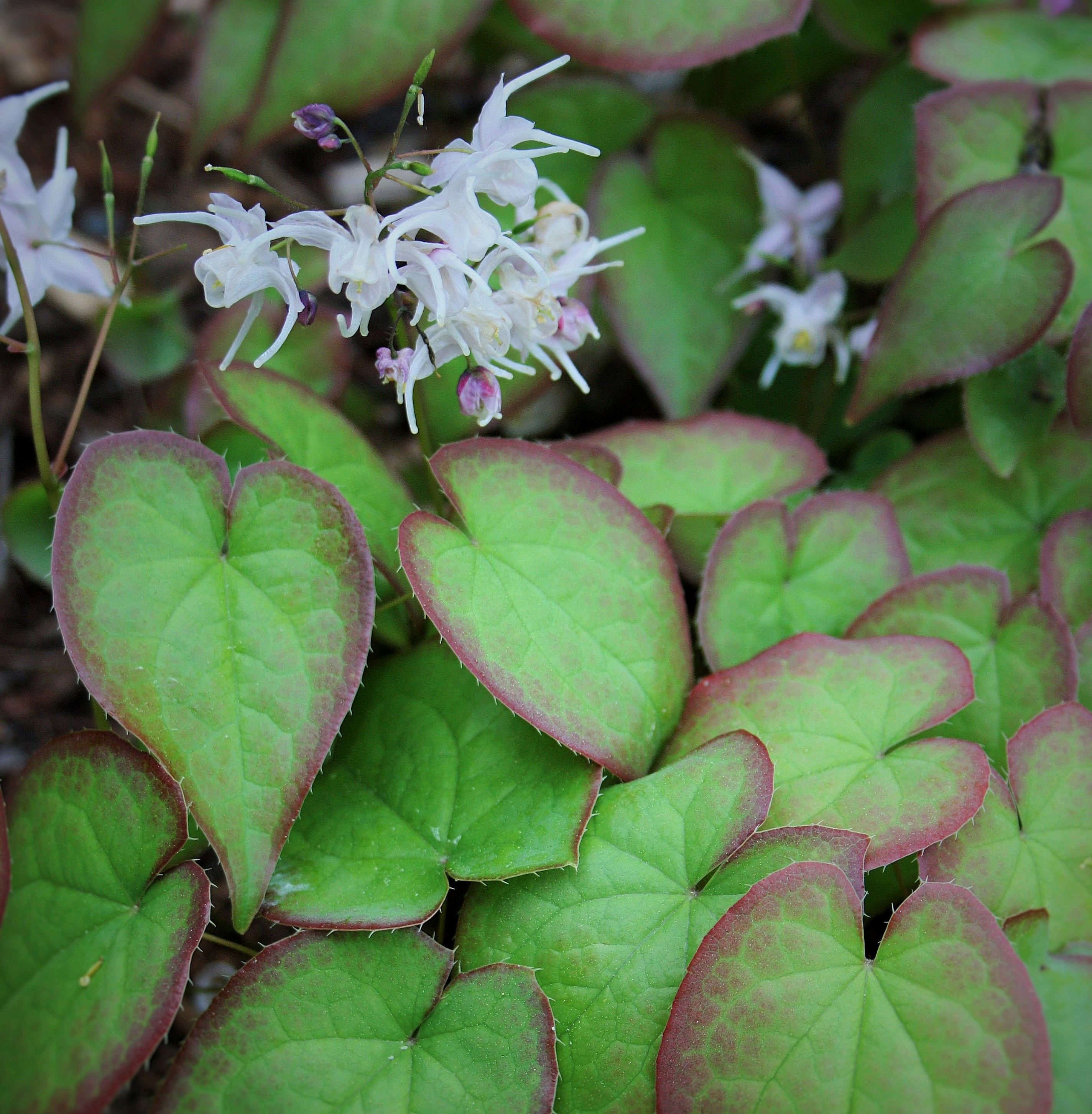 Epimedium sempervirens 'Cherry Hearts' @ JLBG - a 2001 Cobblewood introduction of a Japanese collected plant by Don Elick; semi-evergreen