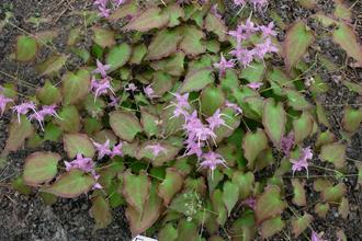 Epimedium sempervirens 'Shadow Dancer'