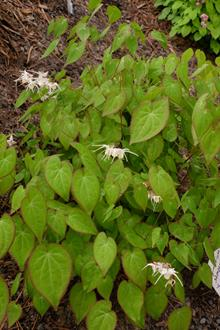 Epimedium sempervirens 'Supernova'