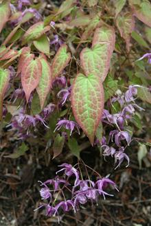 Epimedium sempervirens 'Violet Queen'