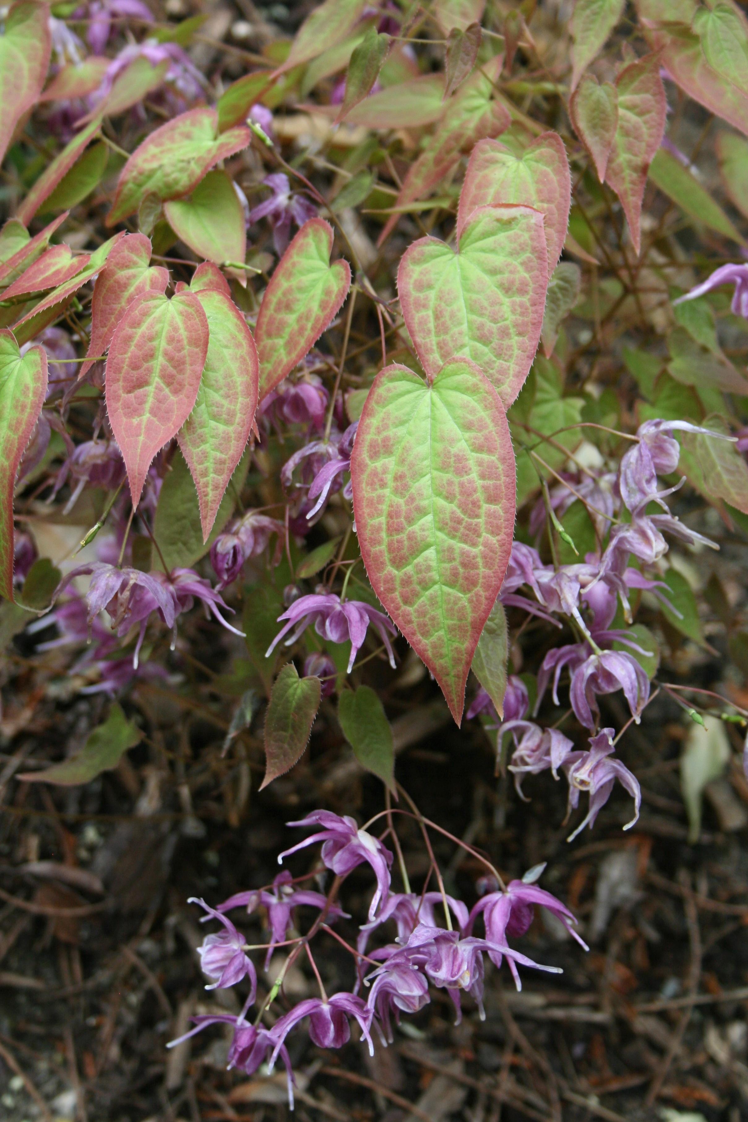 Epimedium sempervirens 'Violet Queen' @ JLBG