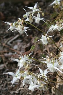 Epimedium sempervirens