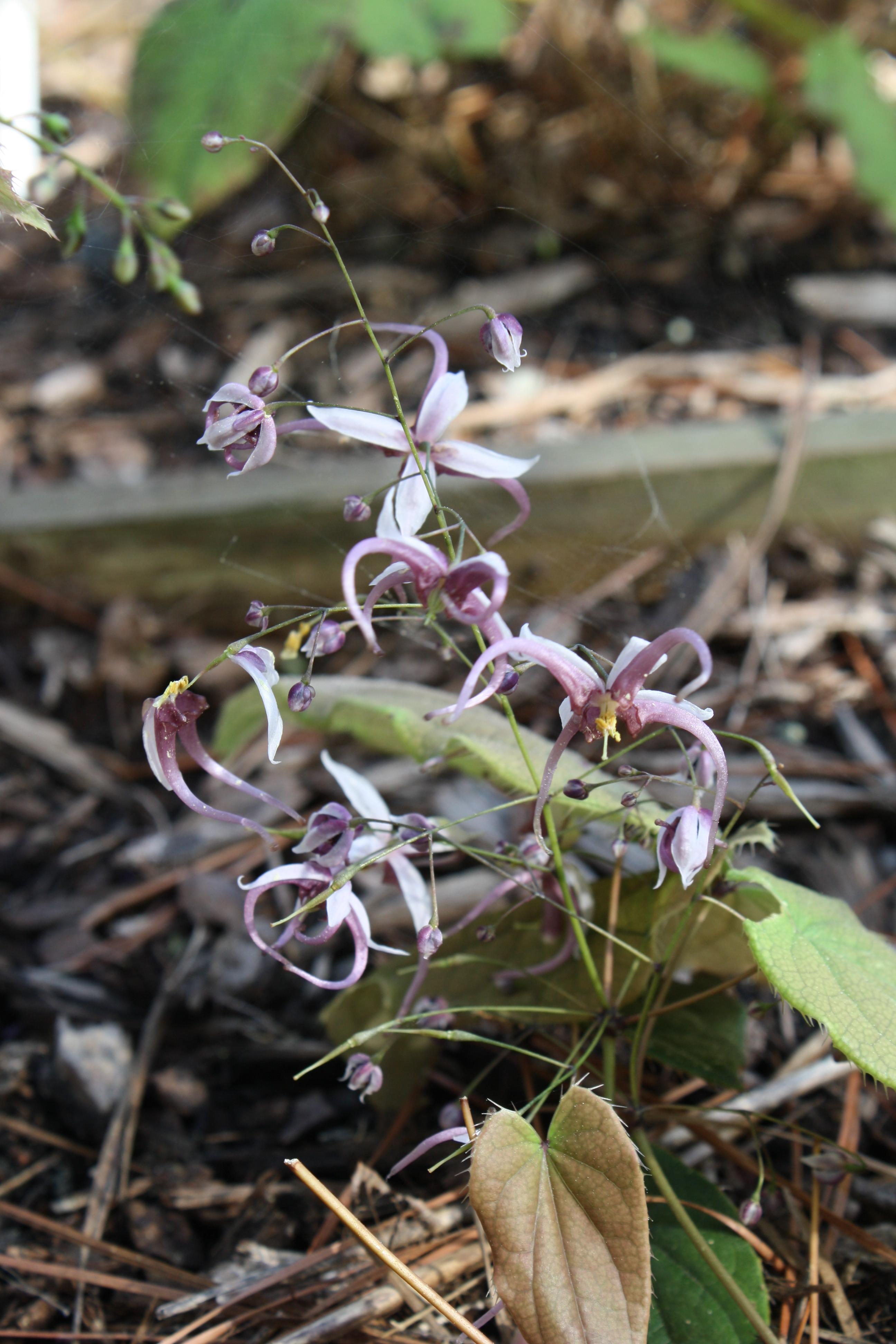 Epimedium simplicifolium @ JLBG