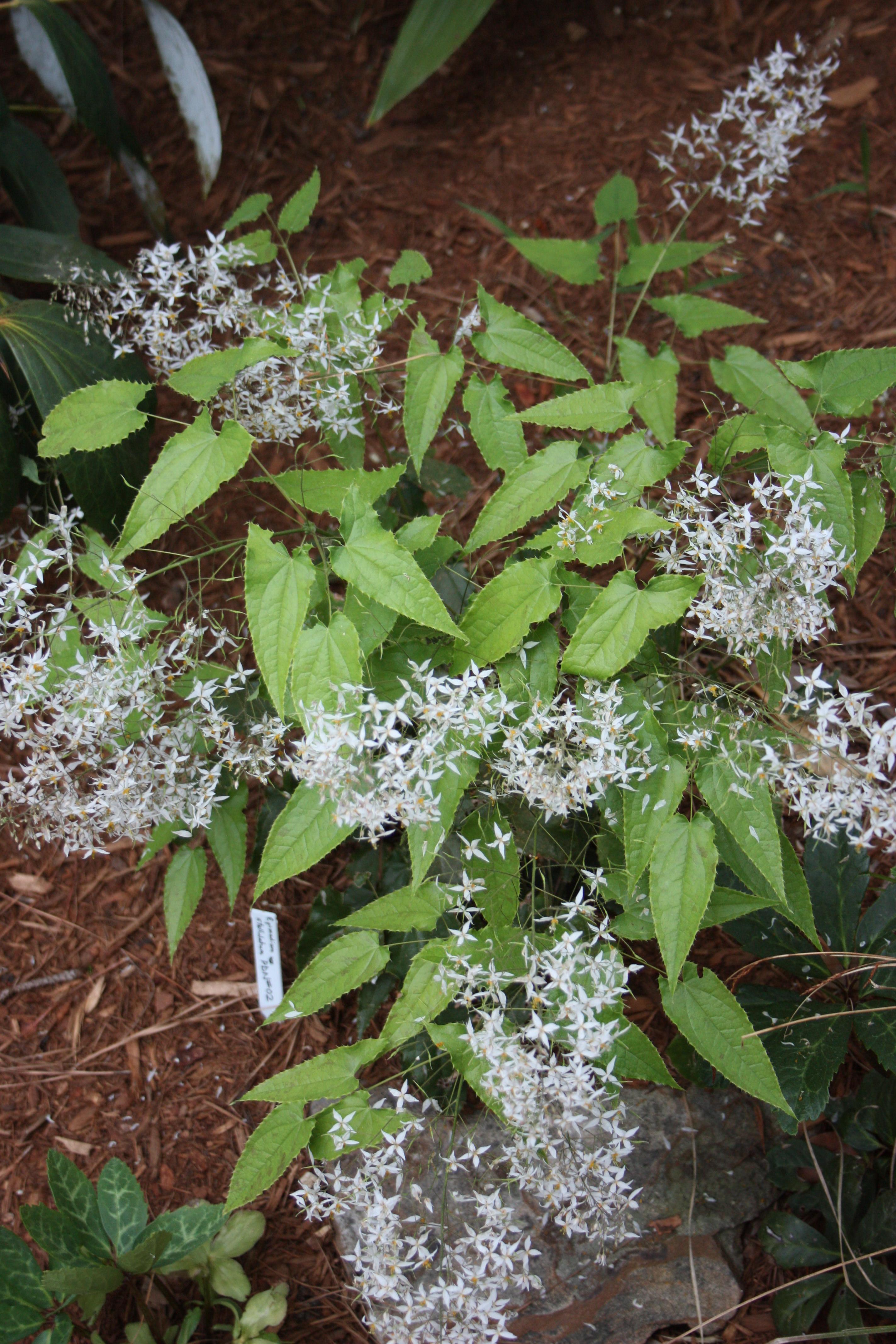 Epimedium stellulatum 'Alotastellulata' @ JLBG - a JLBG/PDN seedling, not introduced yet