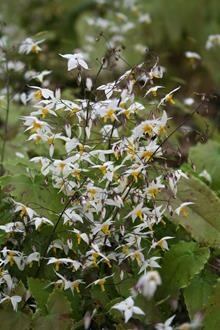 Epimedium stellulatum long leaf form