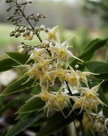 Epimedium wushanense 'Starlite'