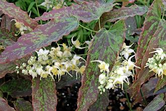 Epimedium wushanense 'Supper Mottle'