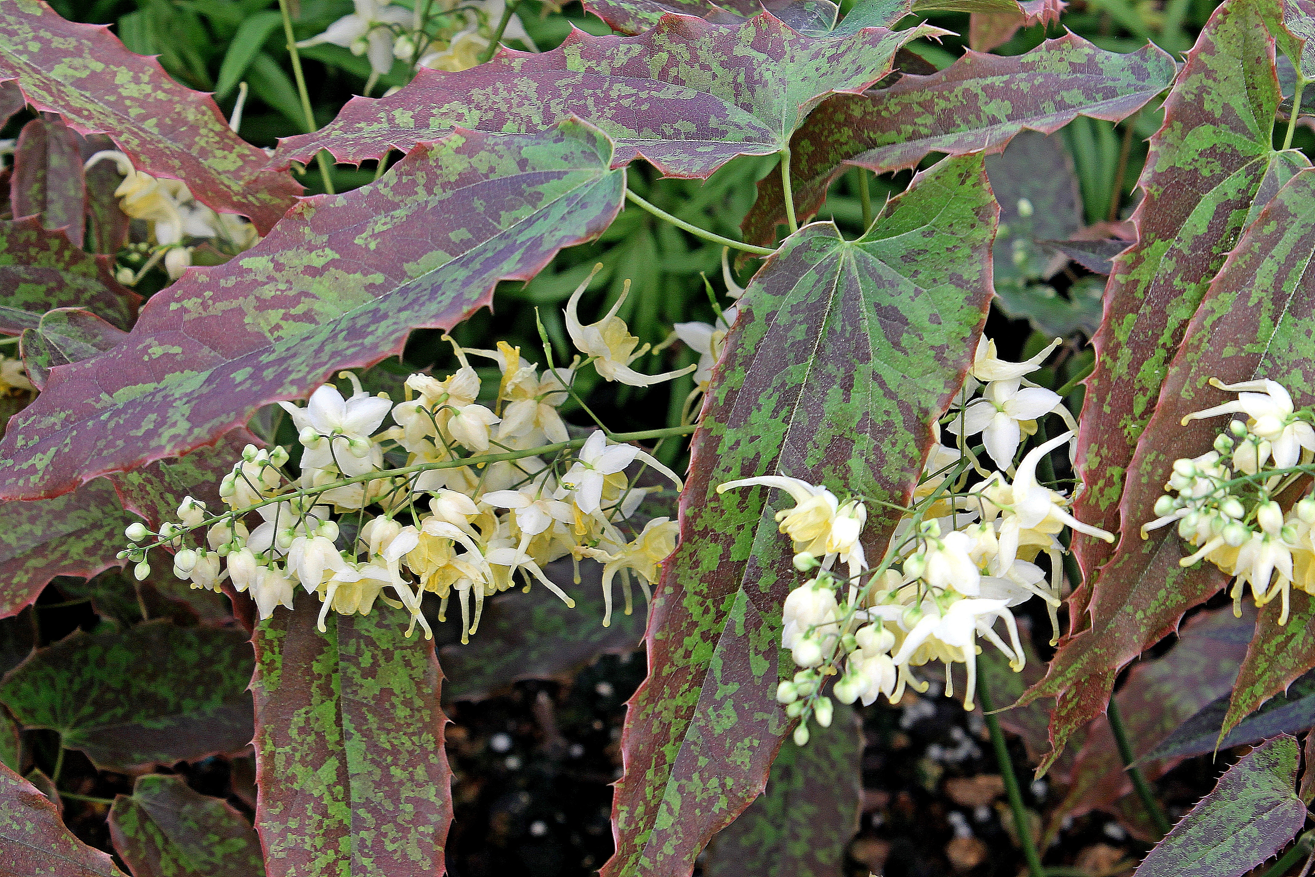 Epimedium wushanense 'Supper Mottle' @ JLBG - a 2016 JLBG/PDN introduction of a clonal selection from imported Chinese plants