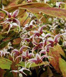 Epimedium x omeiense 'Razzleberry'