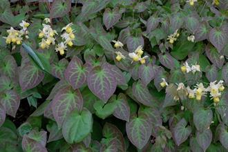 Epimedium x versicolior 'Sulphureum'