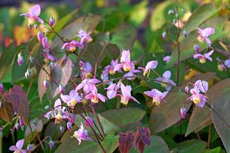 Epimedium x versicolor 'Cherry Tart'