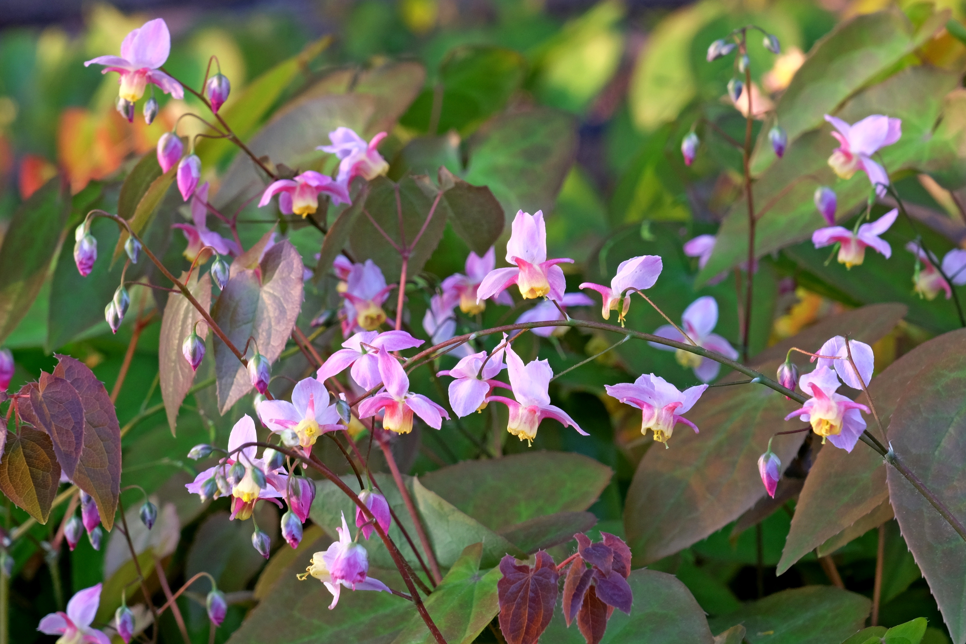 Epimedium x versicolor 'Cherry Tart' @ JLBG - a 1999 Cobblewood introduction of a chance seedling from the garden of Judy Springer; semi-evergreen